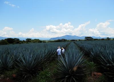 アガベ畑収穫前前景